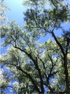 Granite Creek Park cottonwood trees