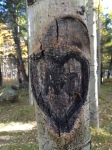 Flagstaff Aspen Heart Bark